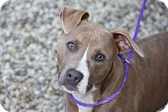 Pit Bull Terrier Mix Dog for adoption in Greensboro, North Carolina - Toya