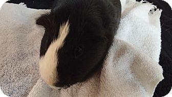 Guinea Pig for adoption in Aurora, Colorado - Eggy