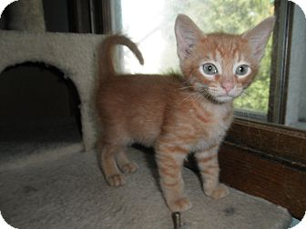 Domestic Shorthair Kitten for adoption in Milwaukee, Wisconsin - Mosi
