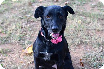 Retriever (Unknown Type)/Labrador Retriever Mix Dog for adoption in PORTLAND, Maine - Bonnie