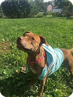 Pit Bull Terrier Mix Dog for adoption in Indianapolis, Indiana - Annie