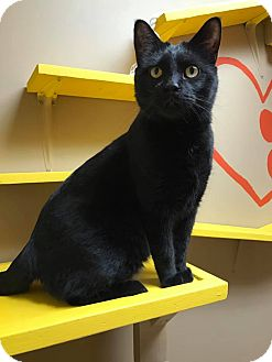 Domestic Shorthair Cat for adoption in Maryville, Missouri - Jinx