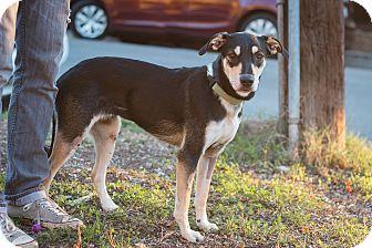 Shepherd (Unknown Type)/German Shepherd Dog Mix Dog for adoption in Los Angeles, California - Maddow