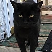 Domestic Shorthair Cat for adoption in Aylett, Virginia - Spook