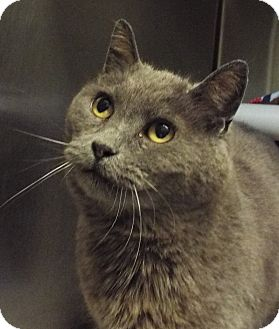 Domestic Shorthair Cat for adoption in Grants Pass, Oregon - Rosemary