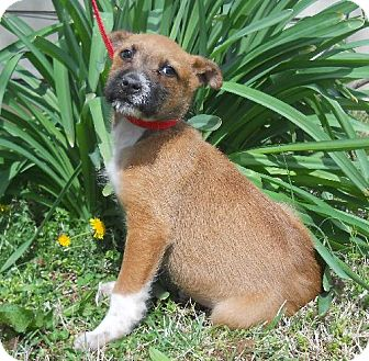 Airedale Terrier/Terrier (Unknown Type, Medium) Mix Puppy for adoption in PRINCETON, Kentucky - CHEEZE CURL