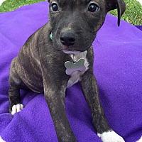 Adopt A Pet :: Rae-Adopted! - Detroit, MI