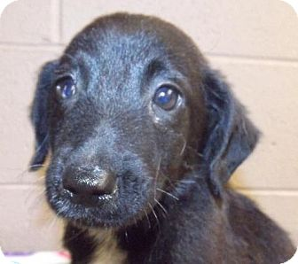 Retriever (Unknown Type)/Border Collie Mix Puppy for adoption in Oxford, Mississippi - Brandon