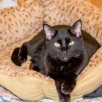 Domestic Shorthair/Domestic Shorthair Mix Cat for adoption in Hopkins, South Carolina - Noah