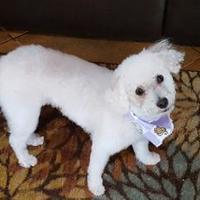 Adopt A Pet :: Lil Bit - Tucson, AZ