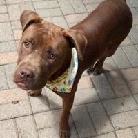 Adopt A Pet :: Hershey - Mesquite, TX