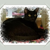 Domestic Shorthair Cat for adoption in Winchester, California - Sparkler