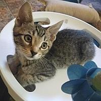 Adopt A Pet :: Kitten 15432 - Parlier, CA