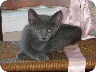 Domestic Shorthair Cat for adoption in Vinton, Iowa - Cordillia
