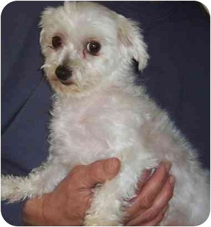 Maltese Dog for adoption in Fanwood, New Jersey - Bangles