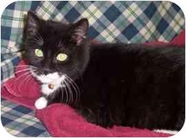 Domestic Shorthair Cat for adoption in Brenham, Texas - Ace