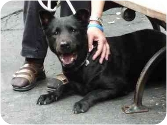 Labrador Retriever/Flat-Coated Retriever Mix Dog for adoption in New York, New York - Miss Runner