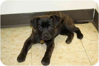 Retriever (Unknown Type) Mix Puppy for adoption in Racine, Wisconsin - Kami