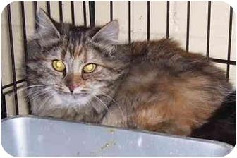 Calico Cat for adoption in Somerset, Pennsylvania - Josie