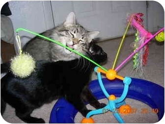 Maine Coon Cat for adoption in Thatcher, Arizona - Maine coon kitty