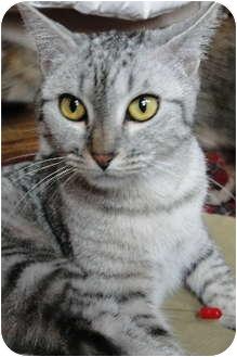 Domestic Shorthair Kitten for adoption in Chicago, Illinois - Magnolia