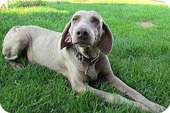 Weimaraner Dog for adoption in Attica, New York - Star