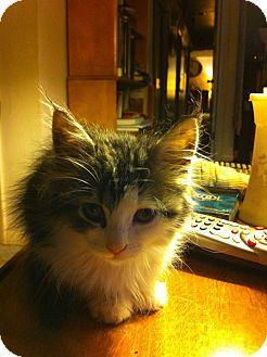 Domestic Shorthair Kitten for adoption in Hamburg, Pennsylvania - Mariah