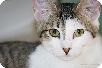 Domestic Shorthair Kitten for adoption in Bulverde, Texas - Della