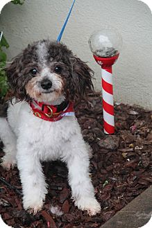 Poodle (Miniature) Mix Dog for adoption in Yuba City, California - Brownie