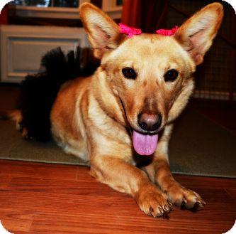 Corgi/Labrador Retriever Mix Dog for adoption in Marietta, Georgia - Sushi