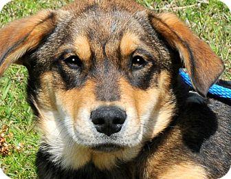 German Shepherd Dog Mix Puppy for adoption in Wakefield, Rhode Island - CRUISER(GORGEOUS SHEP PUP!