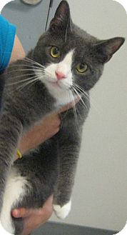 Domestic Shorthair Cat for adoption in Morristown, New Jersey - Nelly