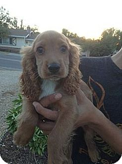Cocker Spaniel Mix Puppy for adoption in Santee, California - Rusty
