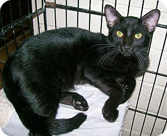 Domestic Shorthair Cat for adoption in Scottsdale, Arizona - Sprocket