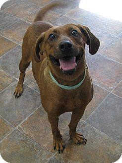 Redbone Coonhound Dog for adoption in Lisbon, Ohio - Rose ADOPTED