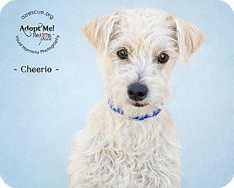 Norwich Terrier Mix Puppy for adoption in Phoenix, Arizona - Cheerio