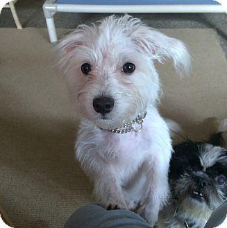 Maltese Dog for adoption in Boca Raton, Florida - TOMMY BOY