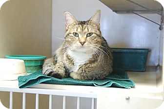 Domestic Shorthair Cat for adoption in Bucyrus, Ohio - Jackie
