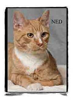 Domestic Shorthair Kitten for adoption in Warren, Pennsylvania - Ned