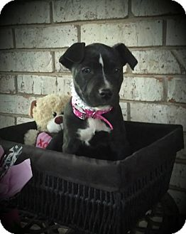 Pit Bull Terrier/Labrador Retriever Mix Puppy for adoption in Wichita Falls, Texas - Zoe