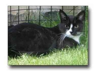 Domestic Shorthair Cat for adoption in Howell, Michigan - Niko