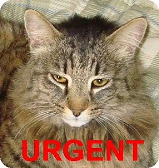 Domestic Mediumhair Cat for adoption in Oakland, California - Snuggles - URGENT