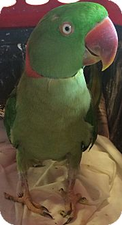 Ringneck for adoption in Burleson, Texas - Mr Ganguli