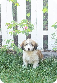 Shih Tzu/Poodle (Miniature) Mix Puppy for adoption in Auburn, California - Charlie