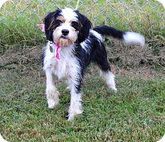 Terrier (Unknown Type, Small) Mix Dog for adoption in Muldrow, Oklahoma - Lucy