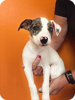 Jack Russell Terrier/Anatolian Shepherd Mix Puppy for adoption in Boca Raton, Florida - Ariel
