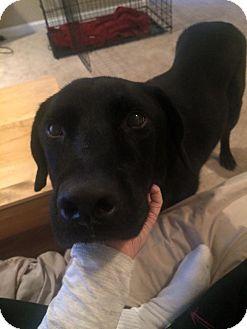 Labrador Retriever Mix Dog for adoption in Murfreesboro, Tennessee - Ryder