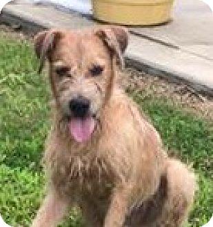 Irish Terrier/Airedale Terrier Mix Dog for adoption in Attalla, Alabama - Aros
