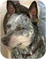 Australian Cattle Dog/Blue Heeler Mix Dog for adoption in Carrollton, Texas - Ky