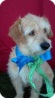 Poodle (Miniature)/Terrier (Unknown Type, Small) Mix Dog for adoption in San Diego, California - MAX